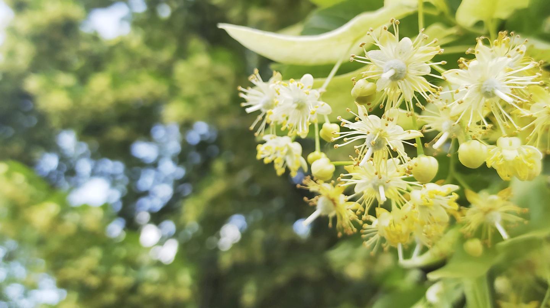 Die heilende Kraft der Bäume: Was in Linde, Birke, Rosskastanie, Eukalyptus und Co. steckt. , as LInde, Heilende Karft der Bäumeder Der